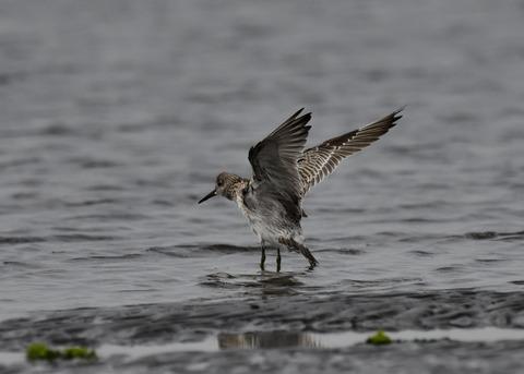 飛ぶ・オバシギ幼鳥4573