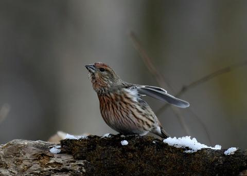 オオマシコ若鳥9603