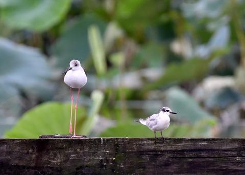 クロハラアジサシ幼鳥2955