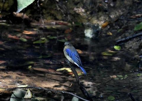 オオルリ幼鳥♂8168
