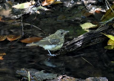 キビタキ幼鳥3422