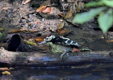 アカゲラ♂幼鳥3688