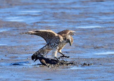 オオタカ若鳥0754