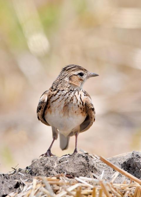 ヒバリ若鳥3792