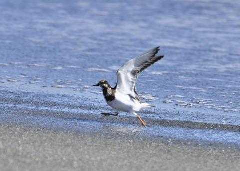 キョウジョシギ幼鳥6047
