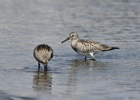 オバシギ若鳥1325