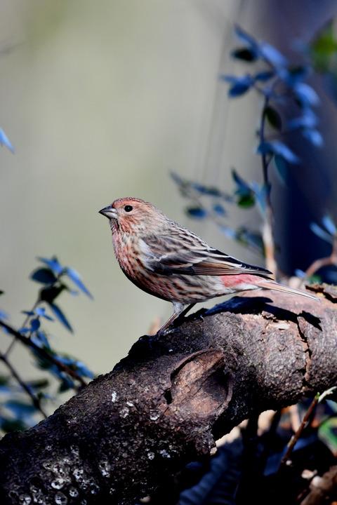 オオマシコ若鳥8945