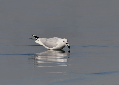 ズグロカモメ冬羽5025