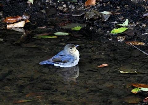 コルリ♂幼鳥7287