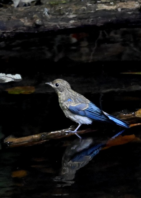 オオルリ幼鳥②6472