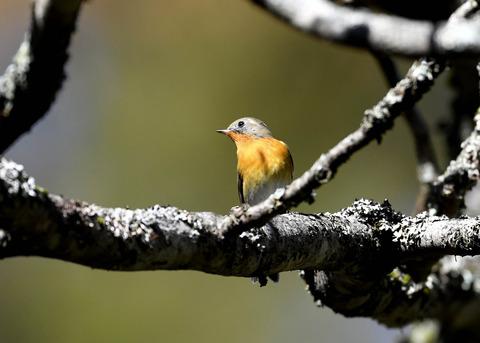 ムギマキ若鳥②♂3513