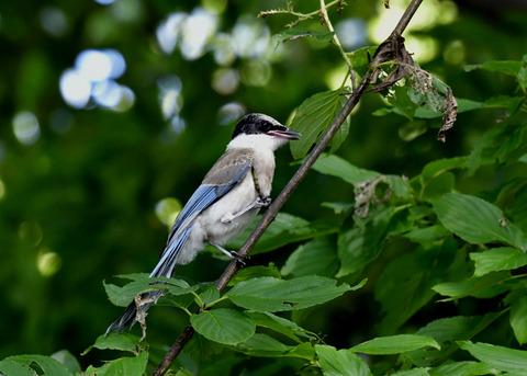 オナガ幼鳥0440