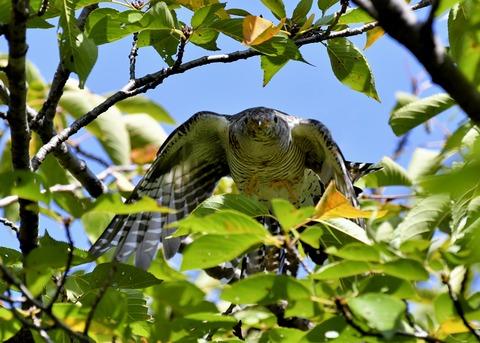 ツツドリ幼鳥5801