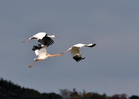 飛ぶ・ソデグロヅル8241