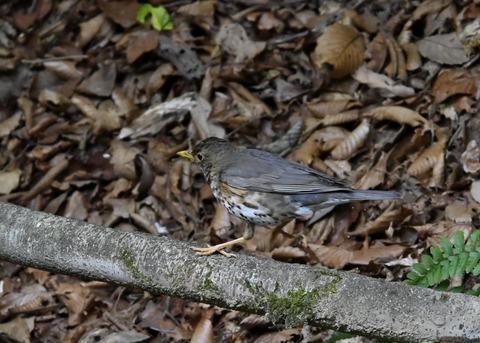 クロツグミ幼鳥6193