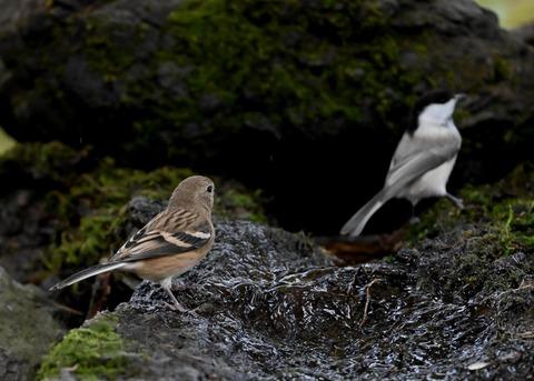 ベニマシコ♀冬羽1842