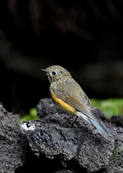 ルリビタキ幼鳥0872