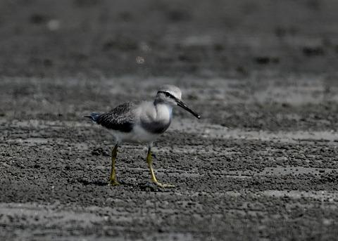 キアシシギ幼鳥9046