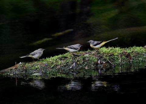 キセキレイ幼鳥8201