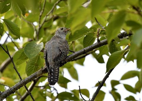 ツツドリ幼鳥5825