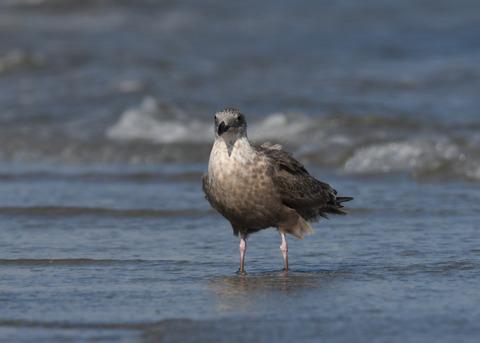 セグロカモメ幼鳥3038
