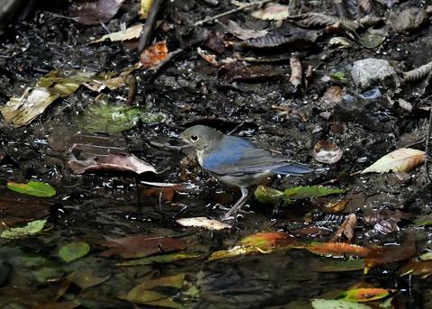 コルリ♂幼鳥4060