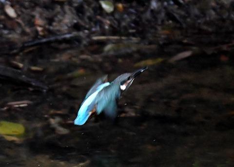 カワセミ若鳥4354