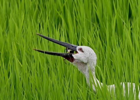 餌捕り・コウノトリ(ひかる)4690