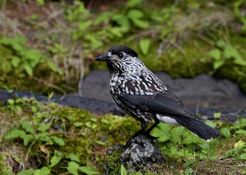 ホシガラス幼鳥3636