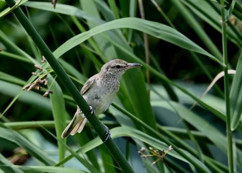 オオヨシキリ幼鳥8413