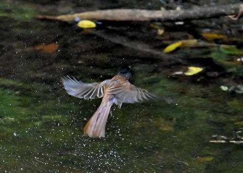 サンコウチョウ幼鳥6242