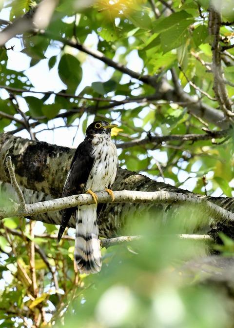 ジュウイチ幼鳥2960