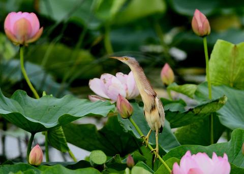 ヨシゴイ(蓮花)2094