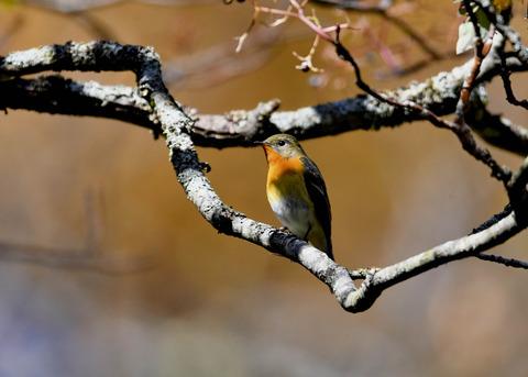 ムギマキ若鳥②♂3921