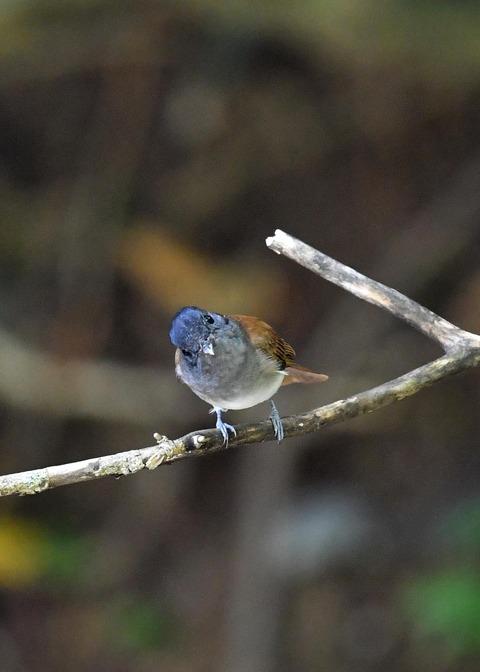 サンコウチョウ幼鳥5598