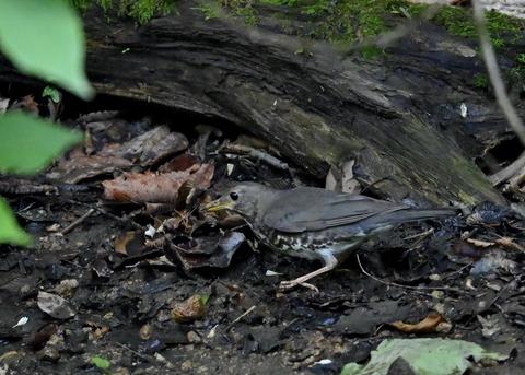 クロツグミ幼鳥6091