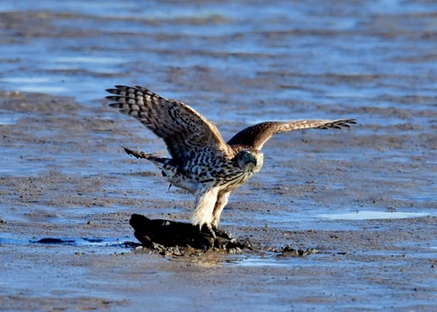 オオタカ若鳥0646