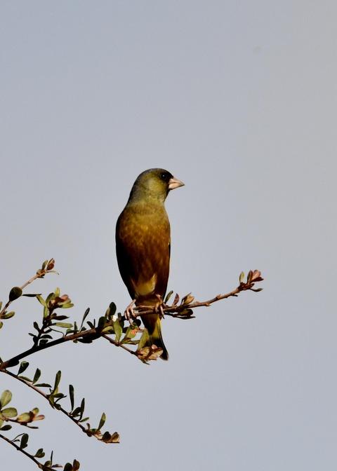カワラヒワ1808