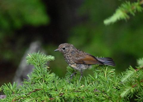 ルリビタキ幼鳥8373