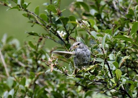 ウグイス幼鳥2487