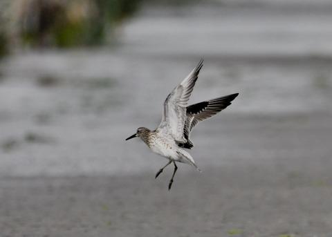 飛ぶ・オバシギ幼鳥4433