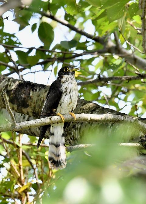 ジュウイチ幼鳥2946