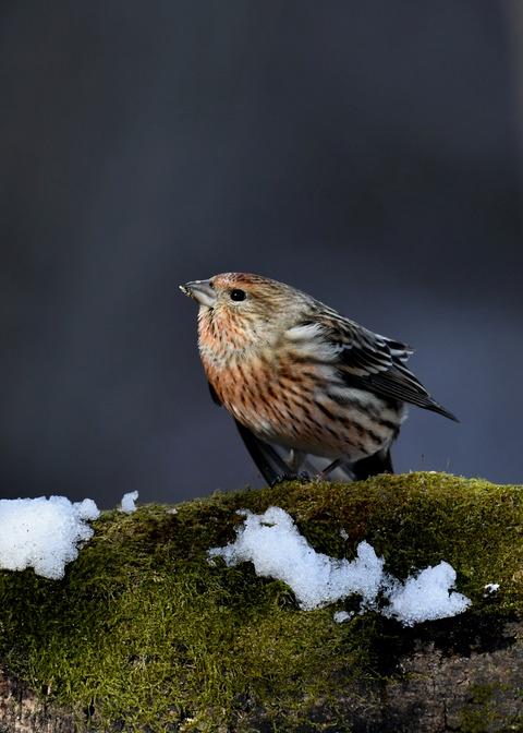 オオマシコ若鳥9572