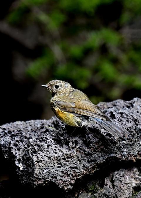 ルリビタキ幼鳥7490