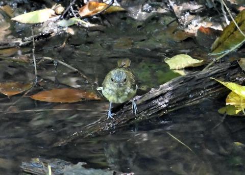 キビタキ幼鳥3410