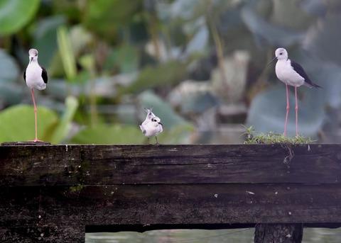 クロハラアジサシ幼鳥2796