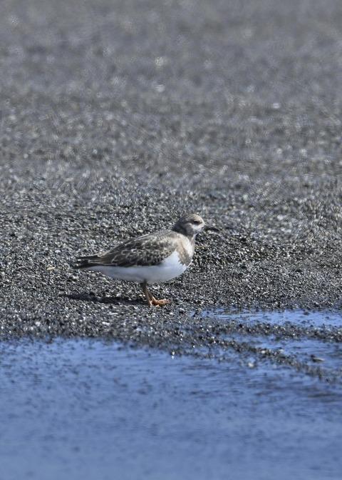 キョウジョシギ幼鳥5882