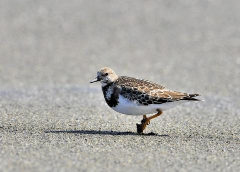 キョウジョシギ幼鳥5848