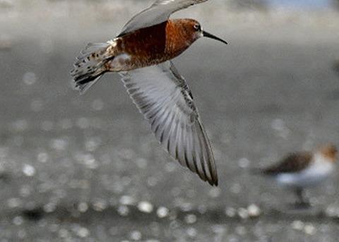飛ぶ・サルハマシギ8754