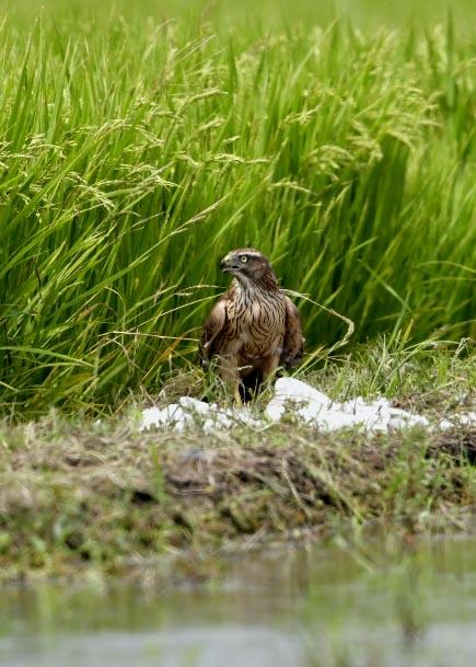 オオタカ若鳥2960
